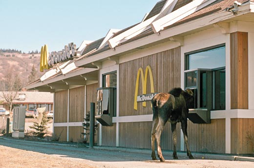 Alaska-Moose-at-McDonalds-5