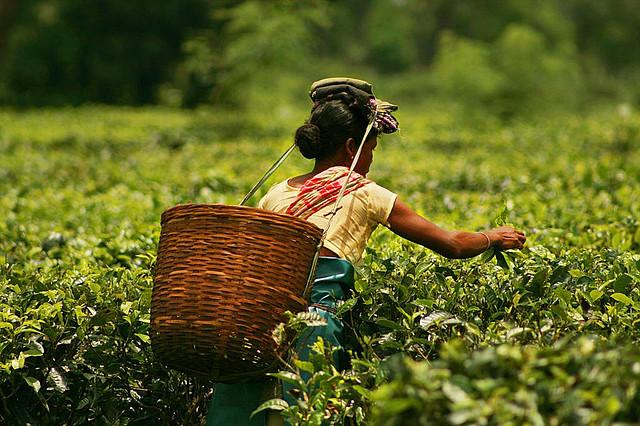 Plucking_tea_in_a_tea_garden_of_Assam